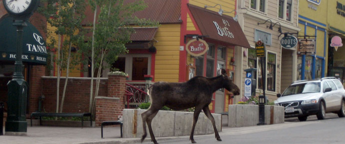 Moose on Main Street in Park City, UT