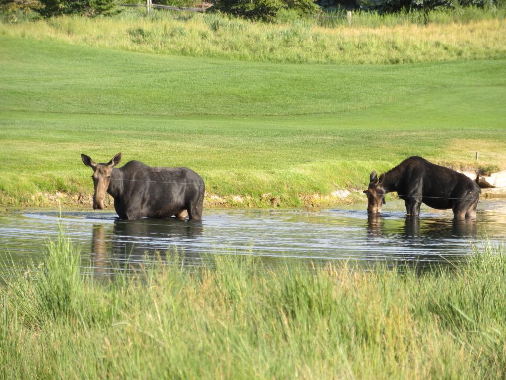 moose in Park City