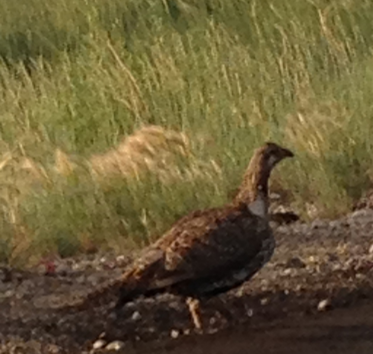 cropped Sage Grouse