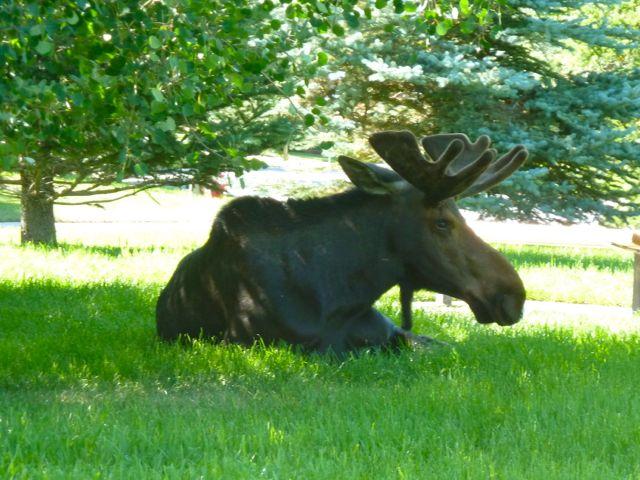 estates moose